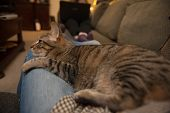 foto of snuggle  - A tabby cat seems lost in thought as she lies snuggled in the lap of an adult wearing blue jeans - JPG
