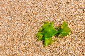 image of algae  - seaweed on a beach sand algae Closeup Algae - JPG