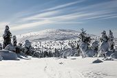 picture of laplander  - Trees covered with snow in Finnish Lapland - JPG