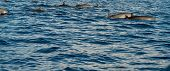 picture of bottlenose dolphin  - Dolphins in Pacific Ocean at sunrise - JPG