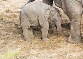 Постер, плакат: Elephant Calf