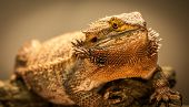 pic of giant lizard  - A slightly overweight German Giant bearded dragon warms himself close to his warming lamp - JPG