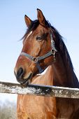 stock photo of thoroughbred  - Headshot of a beautiful thoroughbred horse in winter pinfold under blue sky - JPG