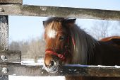 stock photo of pony  - Pony looking out of the winter corral - JPG