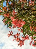 picture of oleander  - Pink flowering oleander bush on cloudy blue sky - JPG