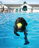 stock photo of pooch  - a dog having fun at a local public pool - JPG
