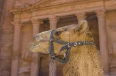 picture of treasury  - Camel in Petra with Treasury in the background - JPG