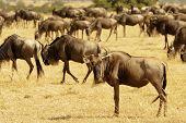 foto of wildebeest  - African Wildebeests  - JPG