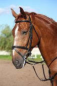 foto of bridle  - Chestnut sport horse portrait in summer with bridle - JPG