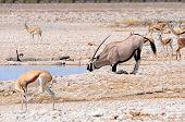 foto of antelope horn  - The gemsbok or gemsbuck  - JPG