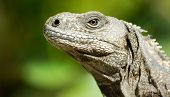 stock photo of omnivore  - Iguana reptile from the animal kingdom reptilia class - JPG