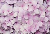 image of hydrangea  - Close up of of Purple hydrangea flowers for background - JPG