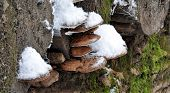 foto of fungus  - Detailed view of the fungus on the tree in winter - JPG