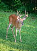 image of black tail deer  - Deer with velvet antlers coming toward the camera - JPG