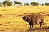 foto of cape buffalo  - An African Cape or Water Buffalo  - JPG