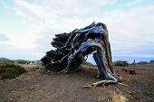 image of juniper-tree  - Gnarled Juniper Tree Shaped By The Wind at El Sabinar - JPG