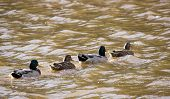 picture of duck pond  - beautiful Set of ducks crossing the pond  - JPG