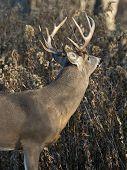 stock photo of deer rack  - A wild Minnesota White - JPG