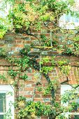 stock photo of english ivy  - Windows and house brick wall covered with green tree branches in England - JPG