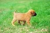 picture of belgian shepherd  - young puppy belgian shepherd malinois in field - JPG