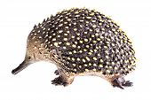 stock photo of ant-eater  - a small plastic echidna figurine isolated over a white background - JPG