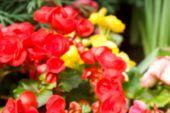 pic of begonias  - blurry defocused image of red begonia flower in flowerbed for background - JPG