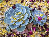 picture of oleander  - Echeveria Glauca or Hens and Chicks succulent covered with Palo Verde and Oleander flowers and leaves after Spring wind outbreak - JPG