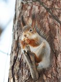 picture of walnut-tree  - Squirrel on tree with walnut on winter day - JPG