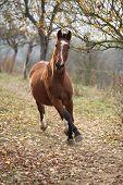 foto of chestnut horse  - Beautiful chestnut horse running alone in autumn - JPG