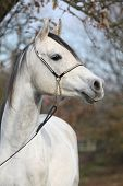 foto of arabian horse  - Portrait of amazing arabian horse with show halter in autumn - JPG
