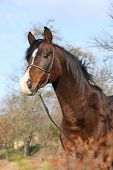 picture of arabian horse  - Beautiful brown arabian horse with show halter in autumn - JPG