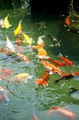 picture of koi fish  - Beautiful ornamental koi fish swimming in pond - JPG
