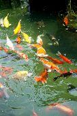 stock photo of koi fish  - Beautiful ornamental koi fish swimming in pond - JPG