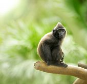 picture of macaque  - Crested black macaque on green tropical background  - JPG