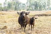stock photo of female buffalo  - Mother with baby buffalo in a wide field - JPG