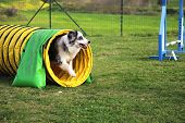 picture of border collie  - border collie in an obstacle of dog agility - JPG