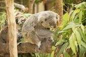 picture of eucalyptus leaves  - koala eating eucalyptus leaves on the tree - JPG