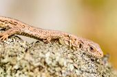 stock photo of lizard skin  - Sand lizard  - JPG