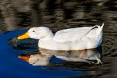 image of duck egg blue  - White duck on blue water lake drinking water - JPG