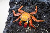 picture of darwin  - Zayapas crabs on the rocks of the Galapagos Islands - JPG