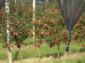image of orchard  - Apple orchard with red ripe apples on the trees - JPG