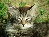 pic of pubescent  - whiskered kitty lies in grass on warm summer day - JPG