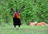 stock photo of rooster  - Beautiful rooster flapping his wings in outdoor setting - JPG