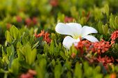 picture of night-blooming  - Plumeria flowers are most fragrant at night - JPG