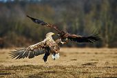 Постер, плакат: Fighting Between Eagles