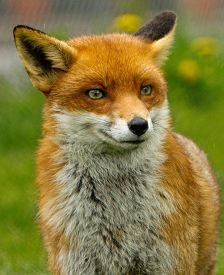 image of safe haven  - A lone British Red Fox - JPG
