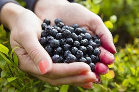 stock photo of gathering  - Woman holding a heap of organic and healthy blueberries in her hands - JPG