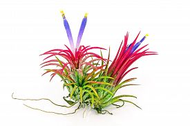foto of tillandsia  - Airplant Tillandsia with flower on white background - JPG