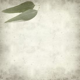foto of eucalyptus leaves  - textured old paper background with eucalyptus leaves - JPG