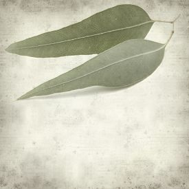 image of eucalyptus leaves  - textured old paper background with eucalyptus leaves - JPG